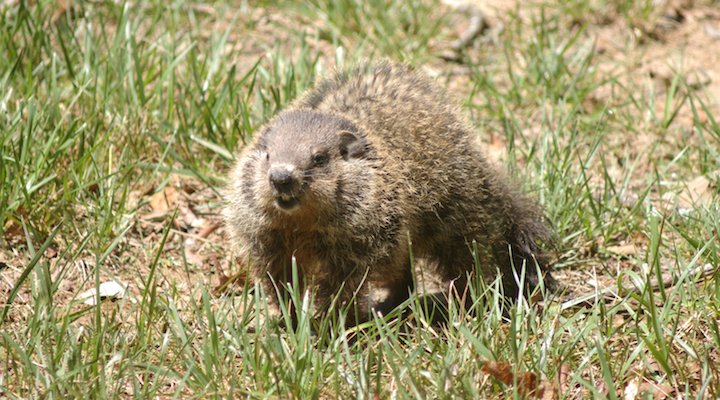 What a Groundhog and Bill Murray's Character from Groundhog Day Have in Common