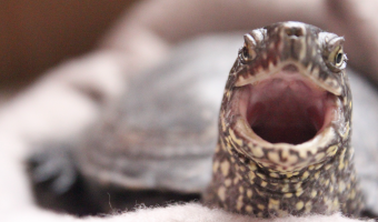 Do Turtles Have Teeth? The Answer is Complicated